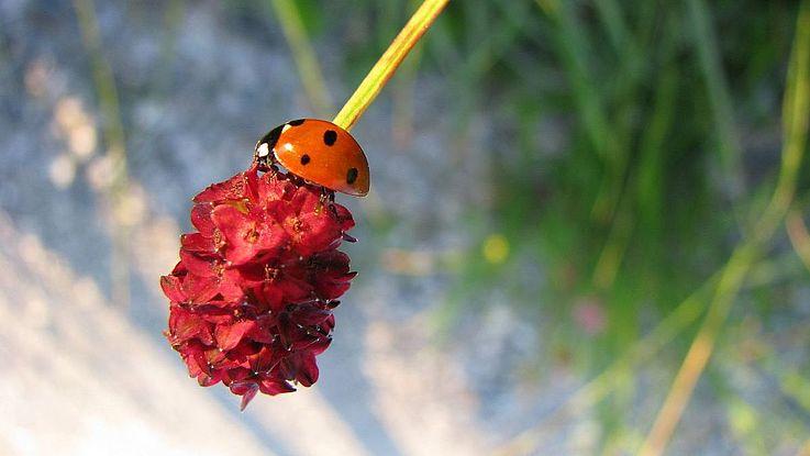 Auf den Kopf gestellt: ein Marienkäfer auf dem Großen Wiesenknopf - übrigens Blume des Jahres 2021. Die Entwässerung von Feuchtwiesen und intensive Weidewirtschaft sowie Mahd zu einem ungünstigen Zeitpunkt können die Bestände gefährden.
