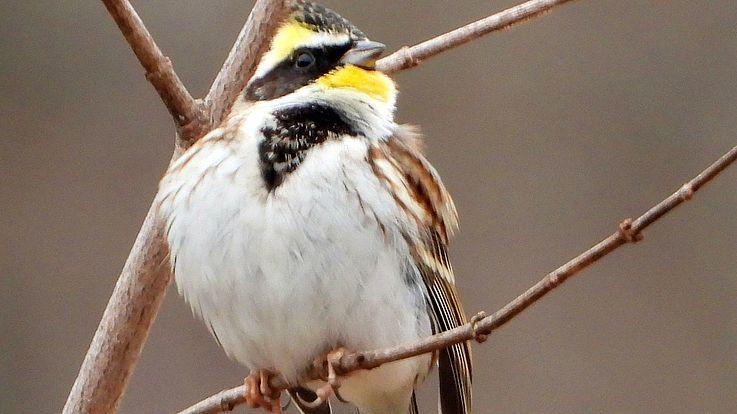 Viele Singvögel, etwa die in Korea heimische Gelbkehlammer (Emberiza elegans), brauchen gesunde Wälder, vor allem auch Waldränder als Habitat.