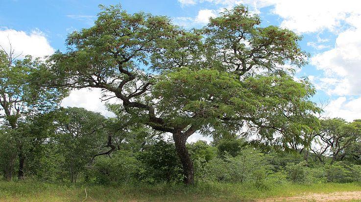 Nur langsam wachsen Nutzhölzer wie Kiaat, Sambesi Teak oder Afrikanisches Rosenholz.