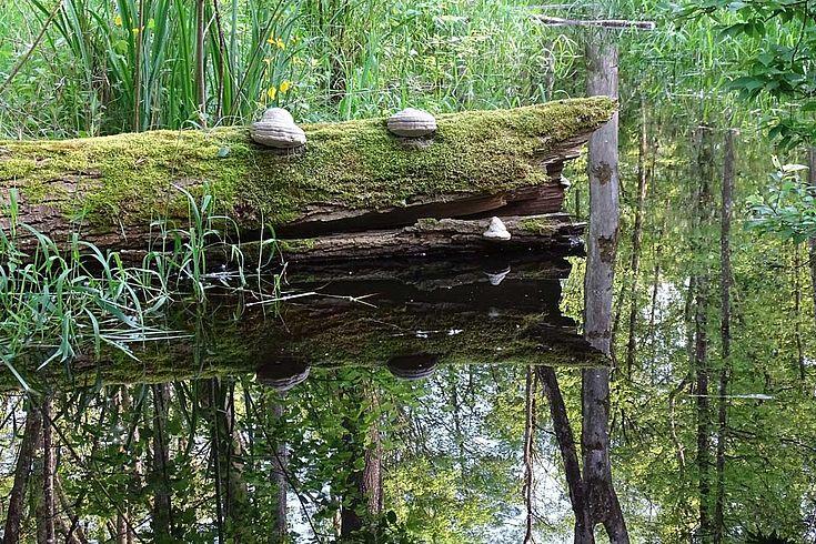 Vom Biber geschaffenes Wasseridyll