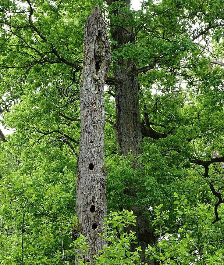 Stieleichen im Rainer Wald, im Vordergrund als stehendes Totholz mit zahlreichen Spechthöhlen